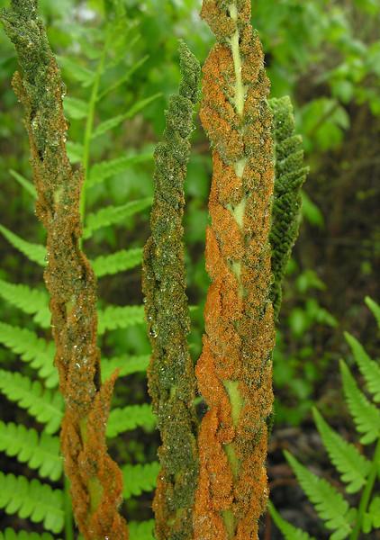 Cinnamon fern (<I>Osmundastrum cinnamomeum</I>) fertile fronds Great Dismal Swamp National Wildlife Refuge, near Suffolk, VA