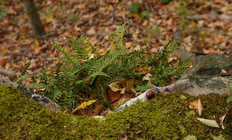 Rock polypody (<I>Polypodium virginianum</I>) & moss Sugarloaf Mountain, Barnesville, MD