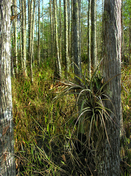Habitat on edge of swamp<br /> Corkscrew Swamp Sanctuary, FL
