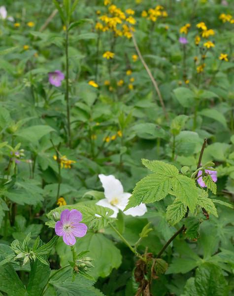 Abundant woodland wildflower patch of spring ephemerals<br /> Blue Ridge Parkway, NC (Milepost ~ 367)