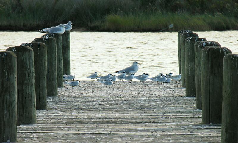 Gulls on the dock<br /> Eastern Neck National Wildlife Refuge, Rock Hall, MD