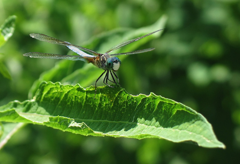 Blue dasher dragonfly (<I>Pachydiplax longipennis</I>), male  McKee-Beshers Wildlife Mgt Area, Poolesville, MD