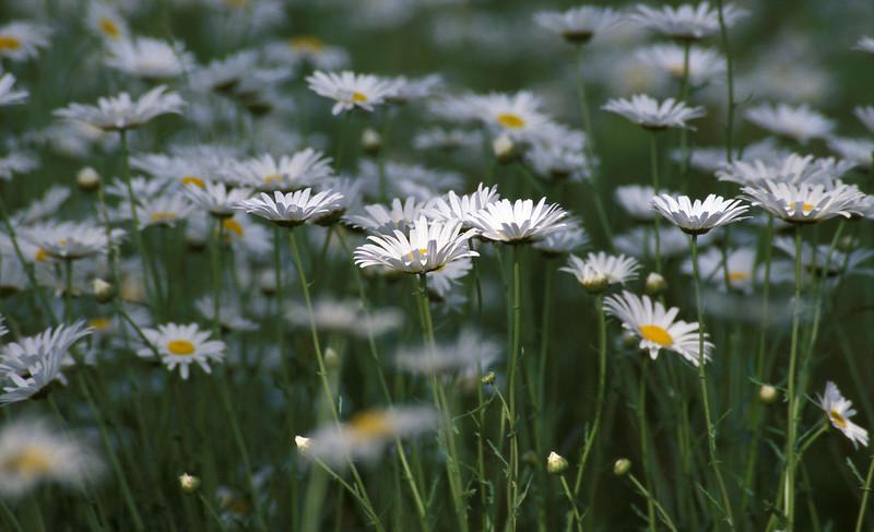 "Oxeye daisies (<i>Leucanthemum vulgare</i>), naturalized in Crowe's Pasture <span class=""nonNative"">[non-native]</span>  Cape Cod, MA"