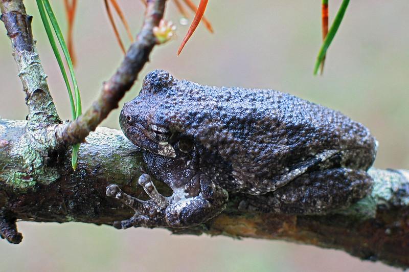 Gray tree frog (<I>Hyla versicolor</I>) Jug Bay Wetlands Sanctuary, Lothian, MD
