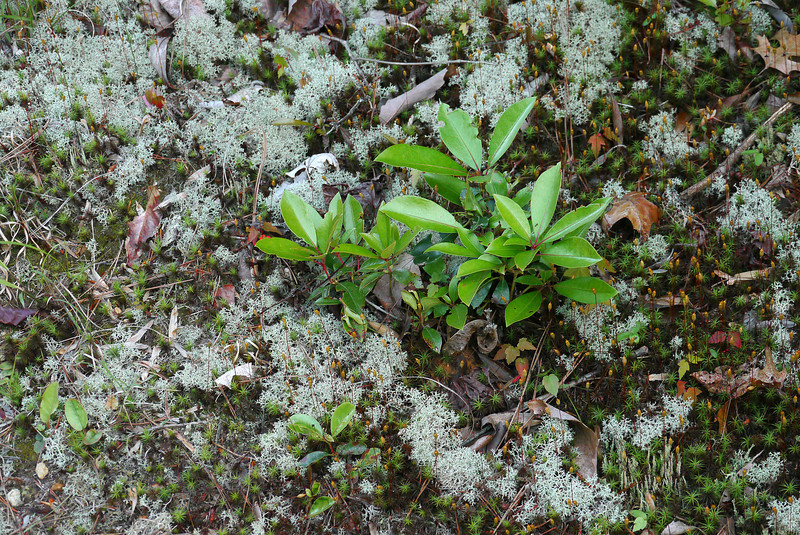 Unusual woodland floor for the southern piedmont, including reindeer moss<br /> Occoneechee Mountain State Natural Area, Hillsborough, NC