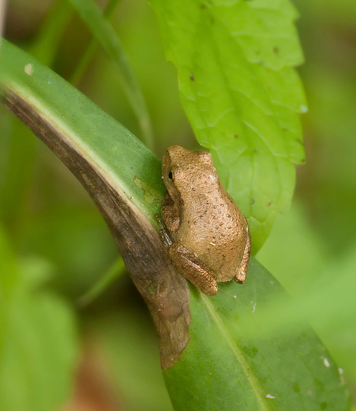 Young spring peeper (<I>Pseudacris crucifer</I>) on blade of grass McKee-Beshers Wildlife Mgt Area, Poolesville, MD