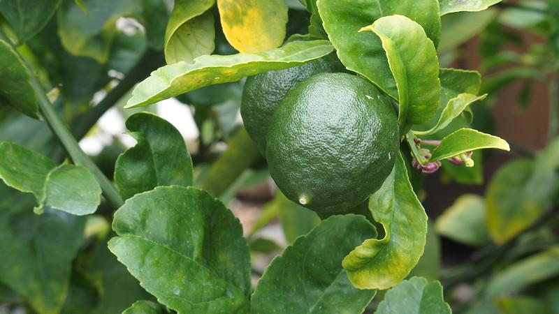 Lime fruit in backyard citrus garden<br /> San Diego, CA