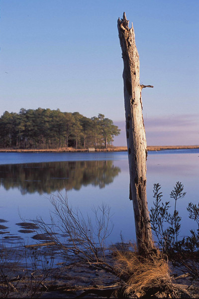 Tree snag along Blackwater River<br /> Blackwater National Wildlife Refuge, near Cambridge, MD