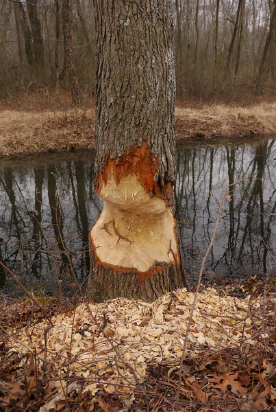 Fresh beaver work on large tulip tree<br /> Patuxent Ponds, Anne Arundel County, MD