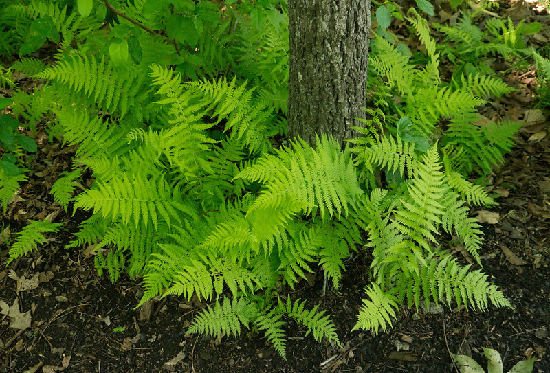 Hay-scented ferns (<i>Dennstaedtia punctilobula</i>) along the woodland trail Jug Bay Natural Area, Patuxent River Park, Upper Marlboro, MD