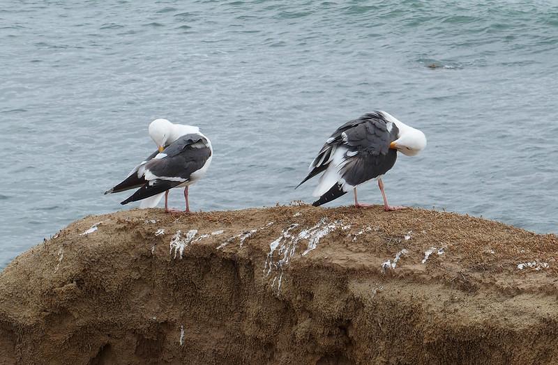 California (?) gulls at Point Loma tide pools<br /> San Diego, CA