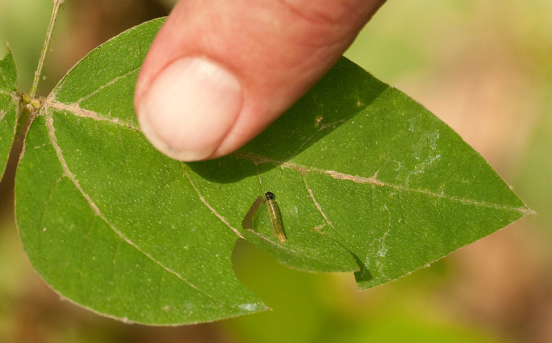 Silver-spotted skipper caterpillar (<I>Epargyreus clarus</I>) McKee-Beshers Wildlife Mgt Area, Poolesville, MD