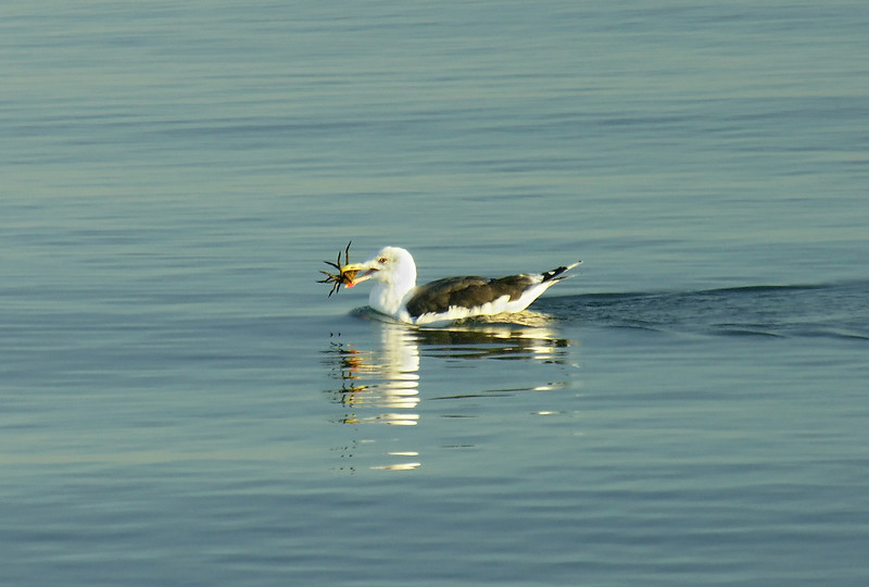 Great black-backed gull feeding on spider crab in Nantucket Sound<br /> West Dennis Beach, Cape Cod, MA