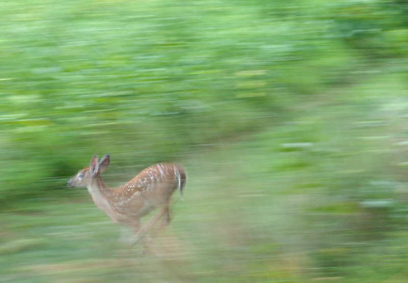 Whitetail deer spotted fawn dashing out of the meadow in alarm <br /> Woodend Sanctuary, Chevy Chase, MD
