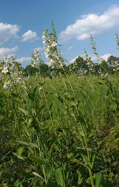 White foxglove beardtongue (<I>Penstemon digitalis</I>) Mason Farm Biological Reserve, Chapel Hill, NC