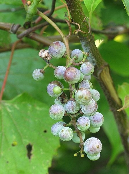 Wild grapes (<I>Vitus sp.</I>) McKee-Beshers Wildlife Mgt Area, Poolesville, MD