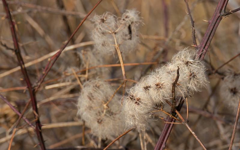 Winter Weeds:  Virgin's Bower (<I>Clematis virginiana</I>) Lois Y. Green Conservation Park, Gaithersburg, MD