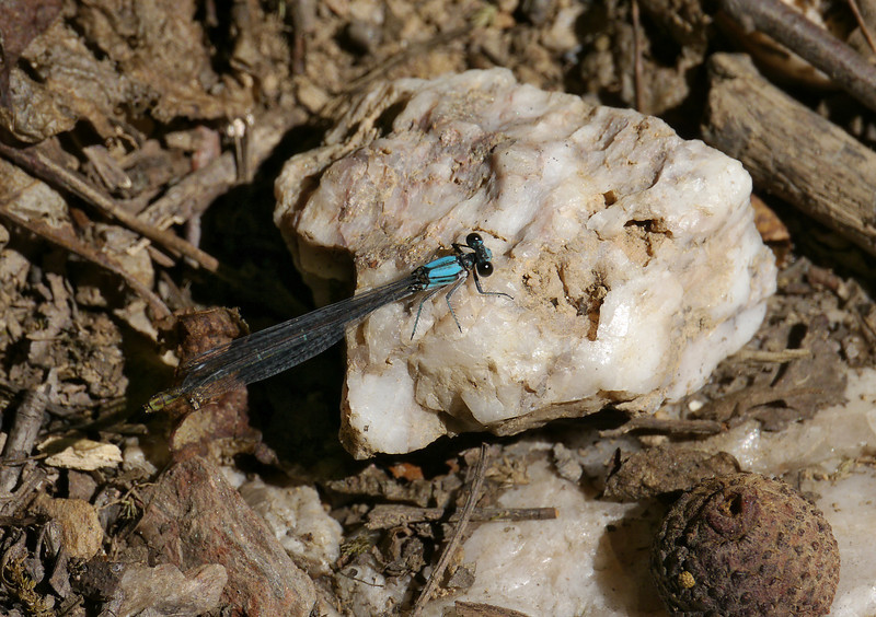 Bluet (pond damselfly) perched on milky quartz<br /> Blockhouse Point Conservation Park, Potomac, MD