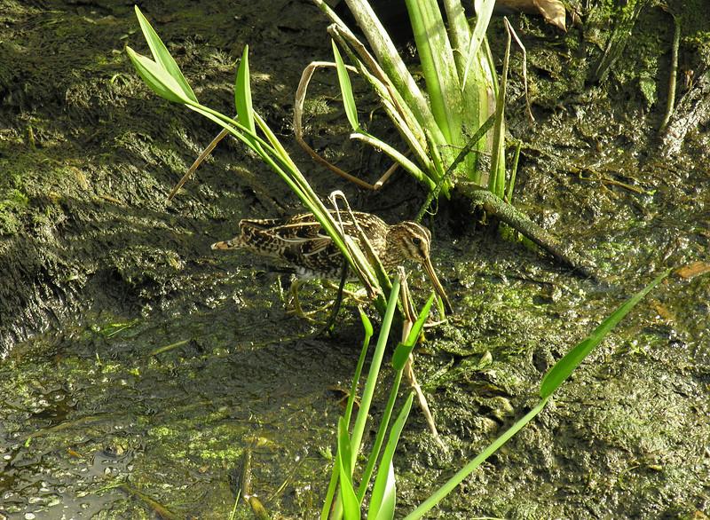 Wilson's snipe<br /> Wakodahatchee Wetlands, Delray Beach, FL