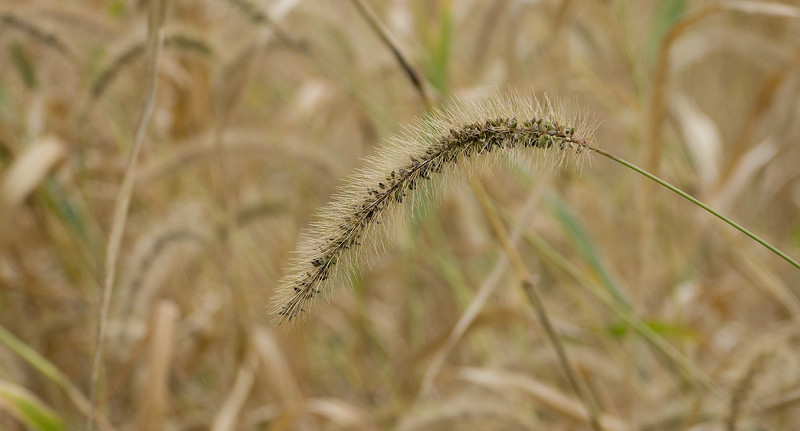 """Giant foxtail grass (<I>Setaria faberi</I>), setting seeds <span class=""""nonNative"""">[non-native]</span> McKee-Beshers Wildlife Mgt Area, Poolesville, MD"""