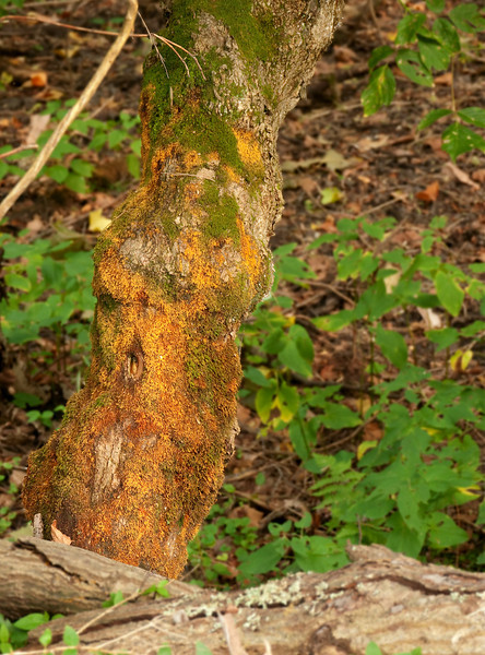 Dying-moss-covered tree along towpath<br /> C&O Canal Nat'l Historical Park, Western Montgomery County, MD