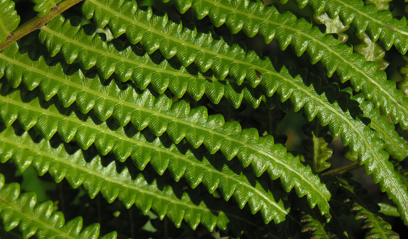 Hottentot fern (<I>Thelypteris interrupta</I>) Shark Valley, Everglades National Park, FL