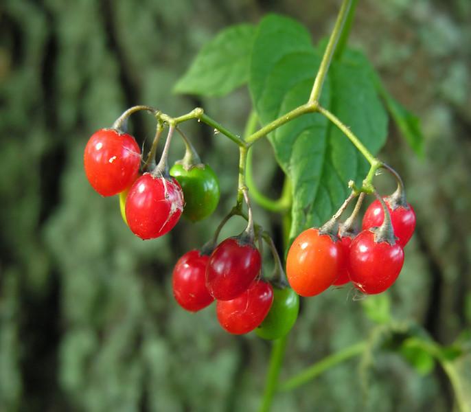 "Climbing nightshade (<i>Solanum dulcamara</i>) fruit <span class=""nonNative"">[non-native]</span> Frost Fish Creek, Chatham, Cape Cod, MA"