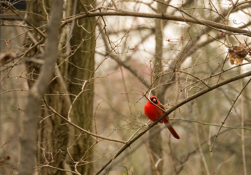 Male cardinal among red berries in winter woods<br /> Glen Echo Park, Glen Echo, MD