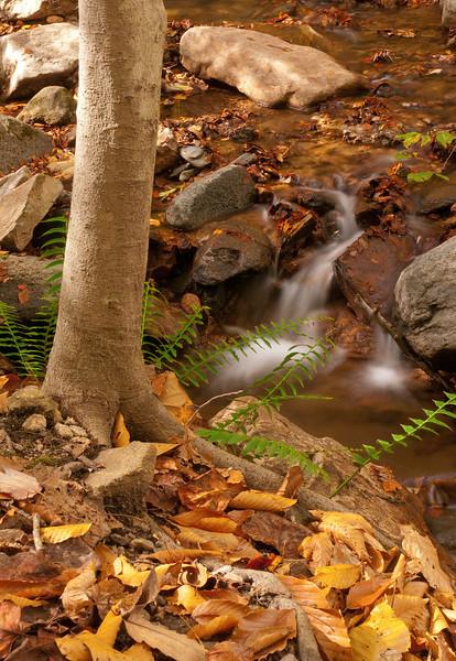 Christmas fern and fallen leaves along Cascade Run<br /> Patapsco Valley State Park, Elkridge, MD