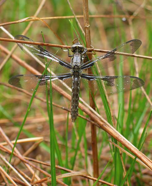 Common whitetail dragonfly (<I>Libellula lydia</I>), female Jug Bay Wetlands Sanctuary, Lothian, MD