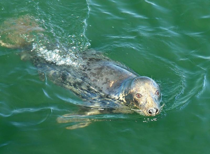 Female Gray Seal in Chatham Harbor<br /> Cape Cod, MA