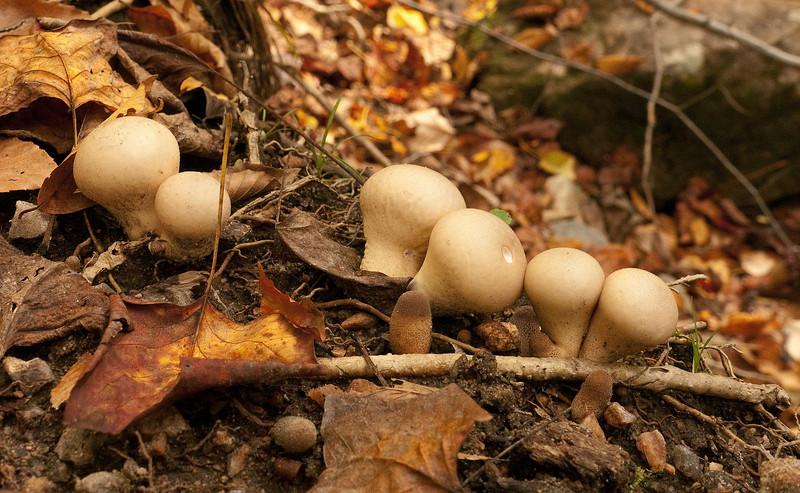 Unidentified mushrooms along Cascade Run<br /> Patapsco Valley State Park, Elkridge, MD