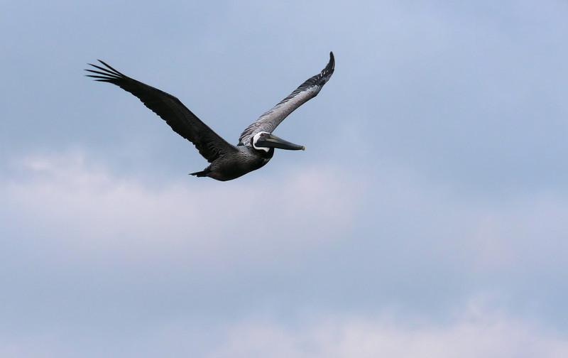 Brown pelican heading to roost<br /> Carolina Beach, NC