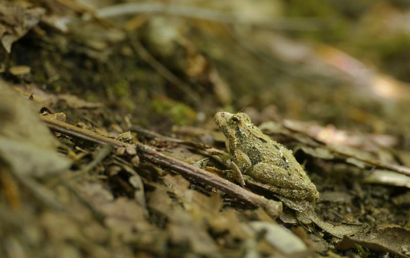 Cricket frog (<I>Acris sp.</I>) Calvert Cliffs State Park, Lusby, MD