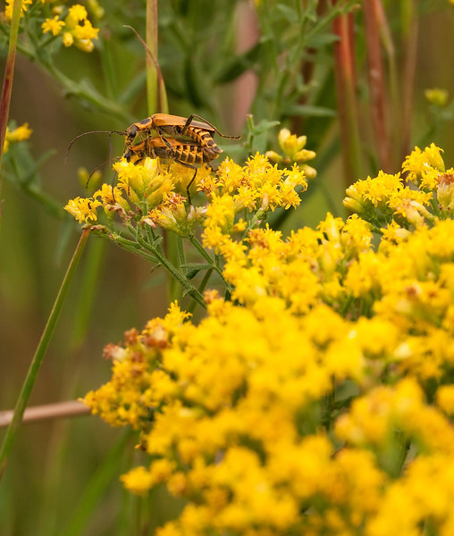 Mating longhorn beetles (probably Pennsylvania leatherwings) eating goldenrod pollen<br /> Waldorf, MD