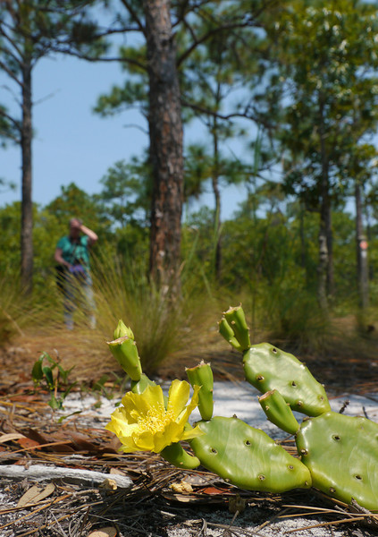 Eastern prickly pear cactus (<i>Opuntia humifusa</i>) in sand ridge habitat Carolina Beach State Park, Carolina Beach, NC