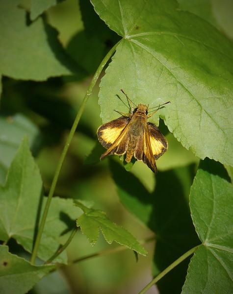 Female fiery skipper (<I>Hylefila phyleus</I>)? Mason Farm Biological Reserve, Chapel Hill, NC