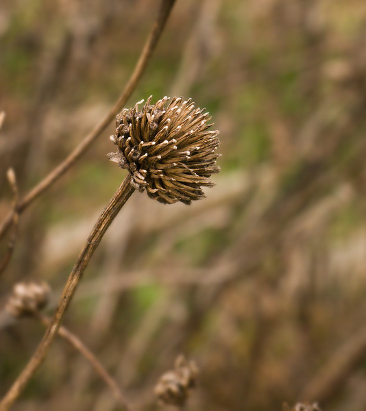 Winter Weeds:  Tickseed sunflower (?) dried flower head<br /> Black Hill Regional Park, Boyds, MD
