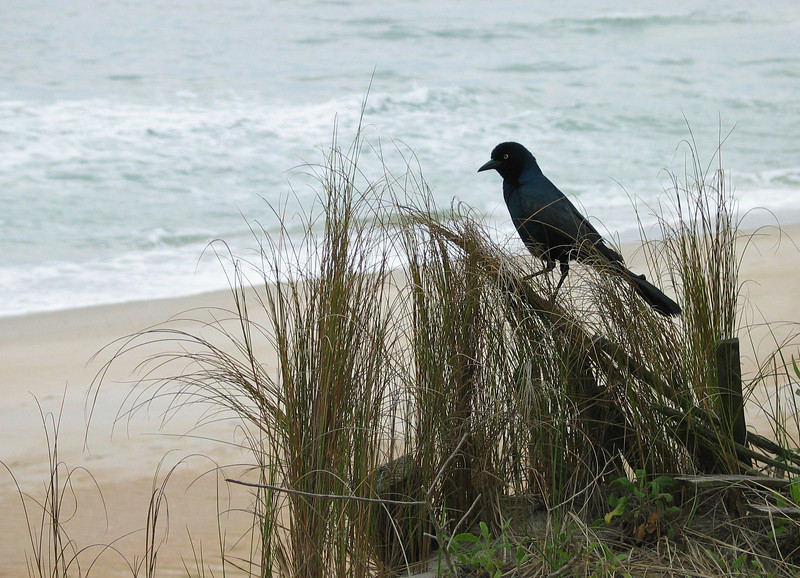 Boat-tailed grackle on the beach<br /> Topsail Island, NC