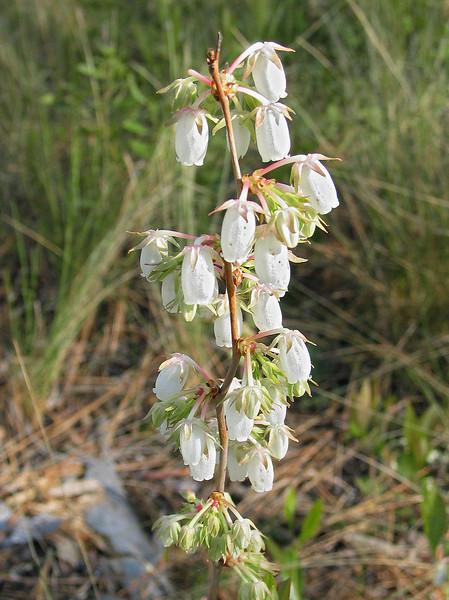 Staggerbush (<I>Lyonia mariana</I>) in the pine savannah Holly Shelter Game Land, Pender County, NC