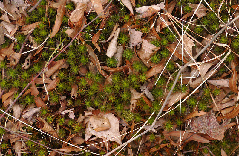 Hair cap moss (<I>Polytrichum commune</I>)? Patuxent Ponds, Anne Arundel County, MD