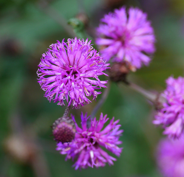 New York ironweed (<I>Vernonia noveboracensis</I>) Woodend Sanctuary, Chevy Chase, MD