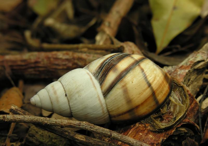 Florida tree snail (<I>Liguus?</I> sp.) shell on ground Castellow Hammock, near Miami, FL