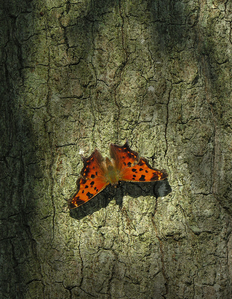 Question mark butterfly on tree trunk<br /> Eastern Neck National Wildlife Refuge, Rock Hall, MD