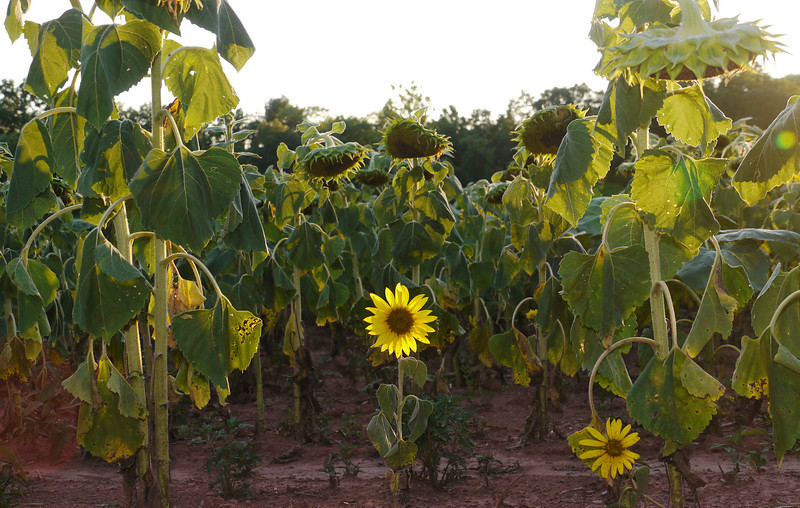 "Baby sunflower in field (<i>Helianthus annuus</i>) <span class=""nonNative"">[non-native, crop planting]</span> McKee-Beshers Wildlife Mgt Area, Poolesville, MD"