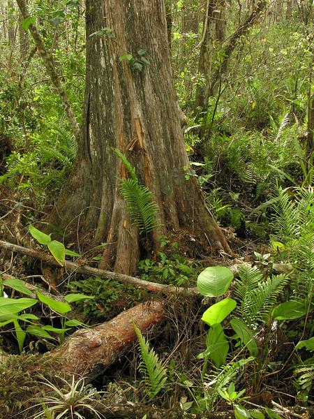 Bald cypress (<I>Taxodium distichum</I>), ferns, etc. Corkscrew Swamp Sanctuary, FL