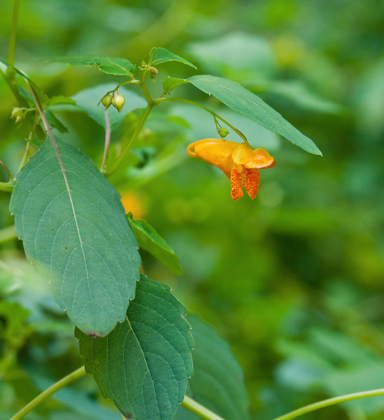 """Spotted jewelweed <I>(Impatiens capensis)</I> in the """"Woodland Walk"""" natives garden Brookside Gardens, Wheaton, MD"""