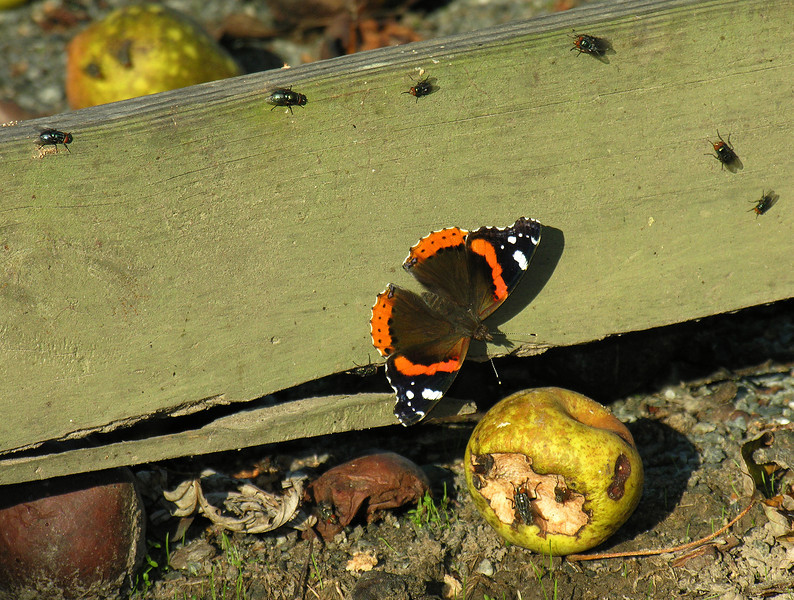 Red admiral sharing an apple with the flies<br /> Eastern Neck National Wildlife Refuge, Rock Hall, MD