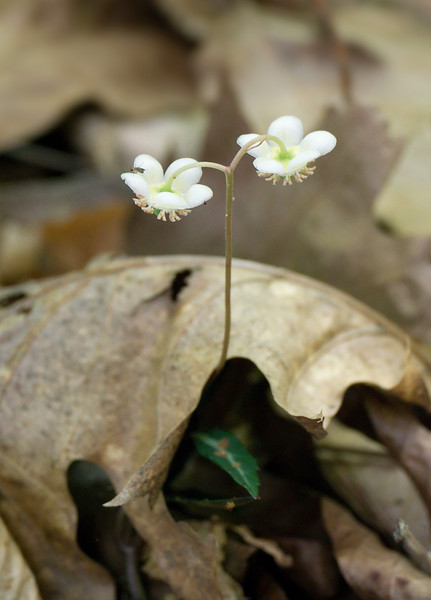 Spotted wintergreen (<I>Chimaphila maculata</I>) in flower Jug Bay Natural Area, Patuxent River Park, Upper Marlboro, MD