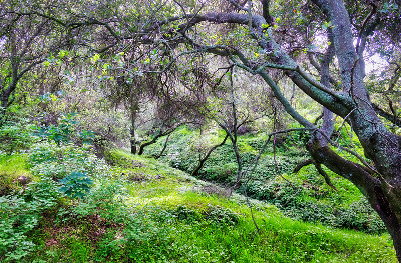 One of the many fern gullies along the American River Parkway